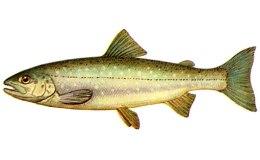 У смаженої риби калорійність висока