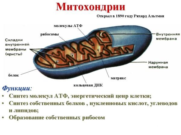 Функції мітохондрії.