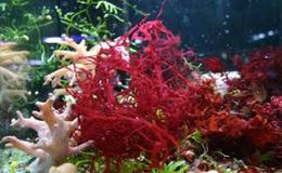 Червоні водорості - джерело отримання каррагінана