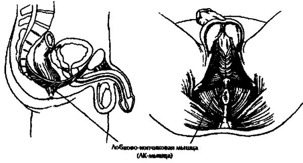 Розташування лобнокопчіковой м'язи.
